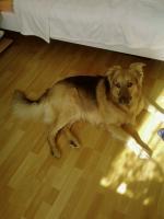 Foto 2 Sch�ferhundmischling Tommy sucht ein zuhause