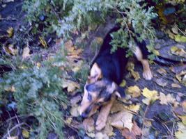Foto 2 Schäferhundmischlingswelpen