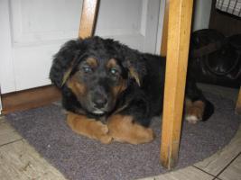 Foto 2 Schäferhundmix Welpe