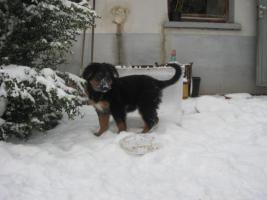 Foto 4 Schäferhundmix Welpe