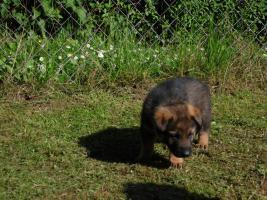 Schäferhundwelpe (Rüde) 9 Wochen alt