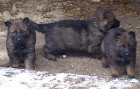 Sch�ferhundwelpe R�de zu verkaufen
