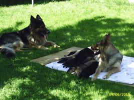 Sch�ferhundwelpen aus Hobbyzucht 5 R�den und 3 H�ndinnen
