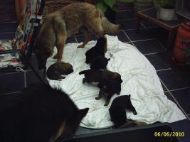 Foto 2 Sch�ferhundwelpen aus Hobbyzucht 5 R�den und 3 H�ndinnen