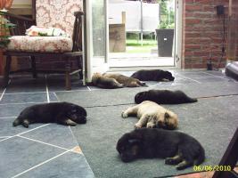 Foto 3 Sch�ferhundwelpen aus Hobbyzucht 5 R�den und 3 H�ndinnen