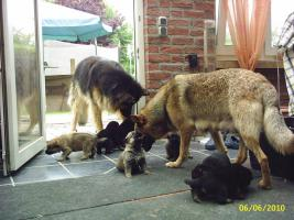 Foto 5 Sch�ferhundwelpen aus Hobbyzucht 5 R�den und 3 H�ndinnen