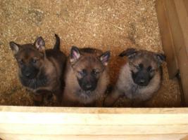 Sch�ferhundwelpen f�r Wachdienst und Familie