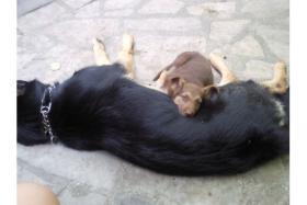 Foto 4 Sch�ferhundwelpen fast 8 wochen alt