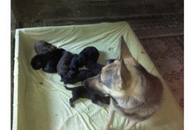 Foto 6 Sch�ferhundwelpen fast 8 wochen alt