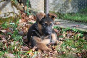 Foto 4 Sch�ferhundwelpen, kr�ftig, gesund, rote SV-Papiere, Familienaufzucht, Top!