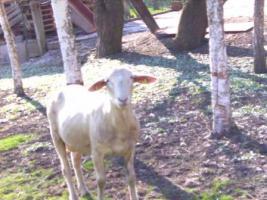 Foto 2 Schafbock Merino zur Zucht