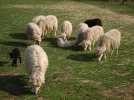 Schafe (Skudden)