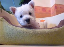 Schenken Sie für Weichnachten  West Highland White Terriers!