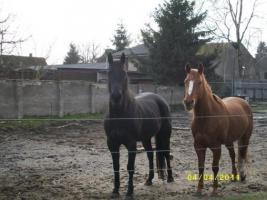 Schicke 3-Jährige Quarter Horse Rapp-Stute