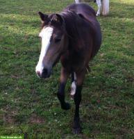 Foto 3 Schicke Welsh B Ponystute