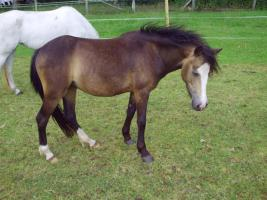 Foto 4 Schicke Welsh B Ponystute