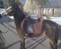 Foto 5 Schicke Welsh B Ponystute