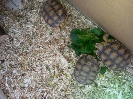 Schildkröten ( Sporenschildkröten)