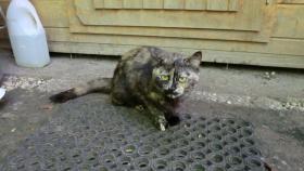 Foto 2 Schildpatt Katze ca. 2 J. sucht neues Zuhause
