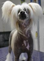Foto 2 Schinesischer Schopfhund