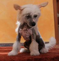 Foto 3 Schinesischer Schopfhund