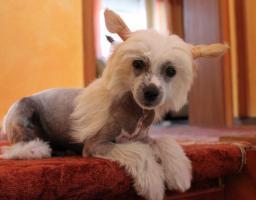 Foto 4 Schinesischer Schopfhund
