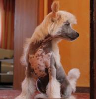Foto 5 Schinesischer Schopfhund