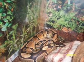 Schlange zu verkaufen mit Terrarium!!!