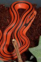 Schlangen - Bambusnattern, Kornnatter, Erdnatter