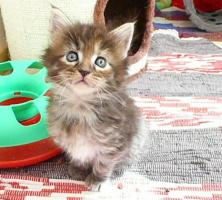 Foto 2 Schmusemonster - MAINE COON Kitten in versch. Farben