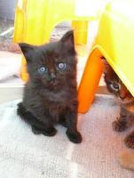 Foto 3 Schmusemonster - MAINE COON Kitten in versch. Farben