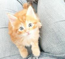 Foto 4 Schmusemonster - MAINE COON Kitten in versch. Farben
