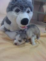 Foto 4 Schneeweisse Siberian Husky Welpen mit blauen Augen - aus gutem Haus !