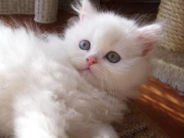 Schneeweißes Perser Kätzchen mit Nase zuverkaufen