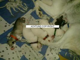Foto 2 Schneweisse Familienfreundliche Siberian Husky Welpen