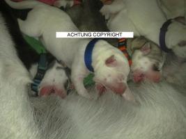 Foto 3 Schneweisse Familienfreundliche Siberian Husky Welpen