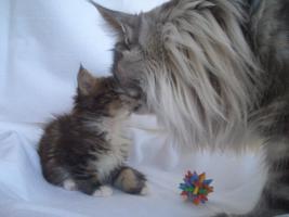 Schnucklige Maine Coon Kitten