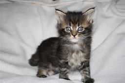 Foto 2 Schnucklige Maine Coon Kitten