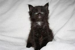 Foto 3 Schnucklige Maine Coon Kitten
