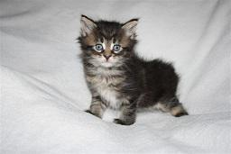 Foto 4 Schnucklige Maine Coon Kitten