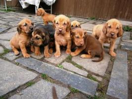 Schöne Bloodhound Welpen mit Stammbaum