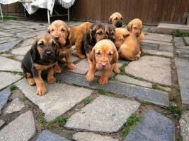 Foto 2 Schöne Bloodhound Welpen mit Stammbaum
