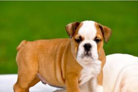 Schöne Englisch Bulldogge Welpen
