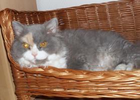 Schöne Halblanghaar-Katze