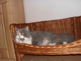 Foto 2 Schöne Halblanghaar-Katze
