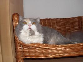 Foto 4 Schöne Halblanghaar-Katze