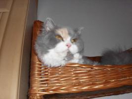 Foto 5 Schöne Halblanghaar-Katze
