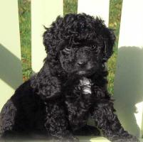 Foto 3 Sch�ne Labradoodle Welpen (medium) in blond & schwarz