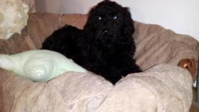 Foto 4 Sch�ne Labradoodle Welpen (medium) in blond & schwarz
