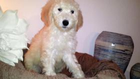 Foto 7 Sch�ne Labradoodle Welpen (medium) in blond & schwarz